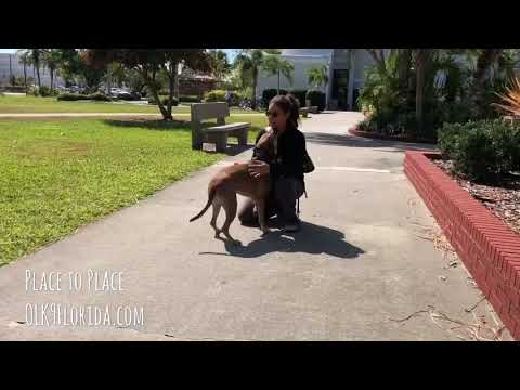 """2 1/2 yr old Rhodesian Ridgeback Mix """"Charlie"""" Palm Bay Dog Trainers 