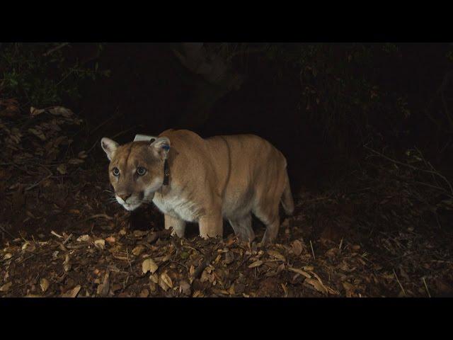 adbd4c1e6e2 Cougar - Puma concolor - Page 5 - Wild Cats