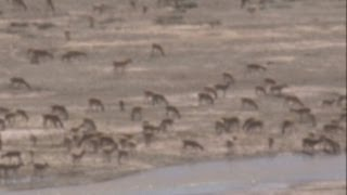 Tens of thousands of migrating Tibetan antelope filmed crossing a river