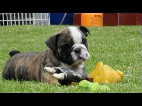 Mauiexpo's Bongo English bulldog puppy for sale