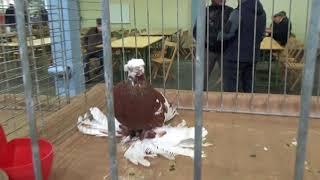 Pigeons / Tauben / Мои голуби / Germany /26.11. 2017 / Выставка голубей : Cloppenburg 6