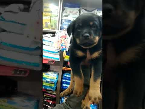 Kci Approved Rottweiler Pup At 7352994017 In Patna Youtube