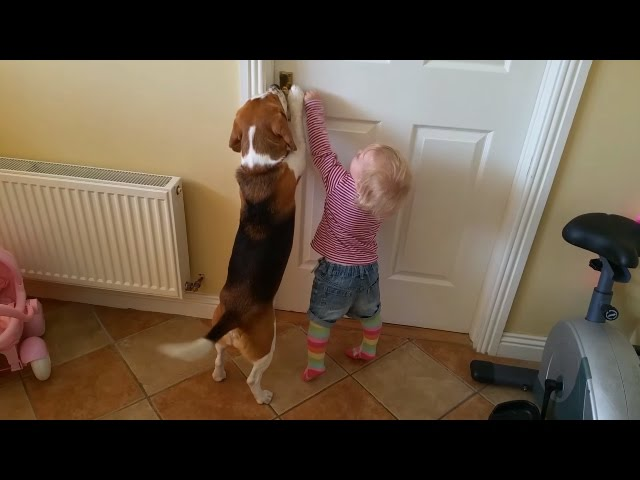 Dog helps baby open the door to the kitchen: Growing up with a beagles #34