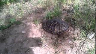 Водная техаская черепаха