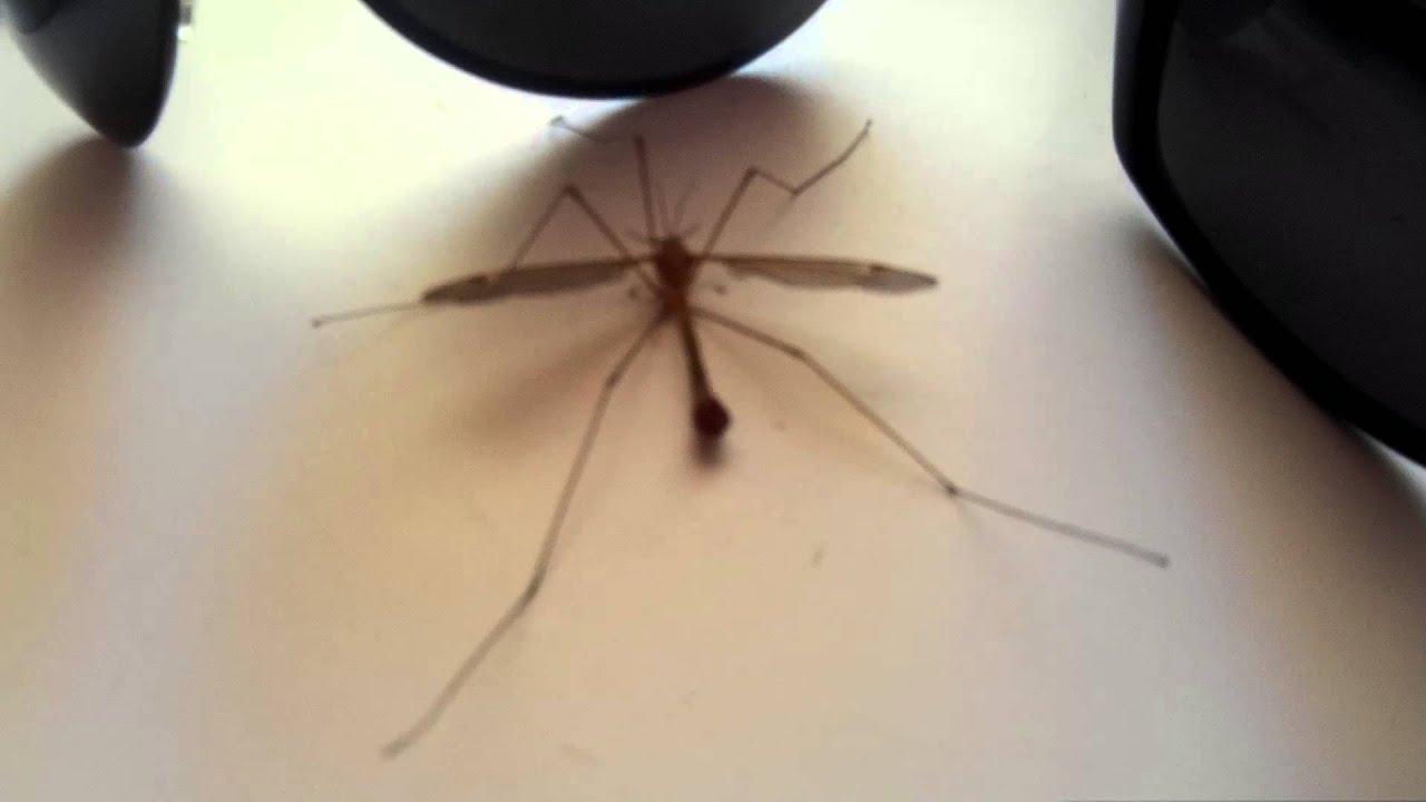 долгоножка комар фото