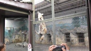 オオカミのおやつタイム (天王寺動物園) 2017年11月3日