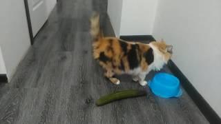 Котенок Гав и приколы с котами. Коты боятся огурцов СУПЕР ржака!!!
