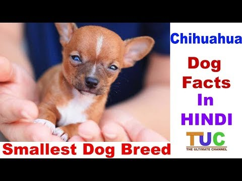 Chihuahua Dog Facts In HINDI : Smallest Dog Breed : TUC : The Ultimate Channel