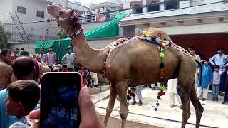 Camel  Qurbani in Lahore Pakistan 2018