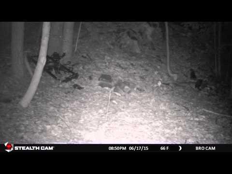 Four Fisher Cat Babies: Part 1
