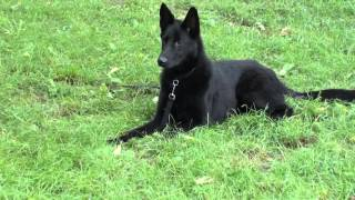 Guy Nashville Dog Trainer 103: Training A German Shepherd Obedience