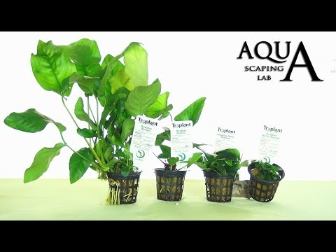 Aquascaping Lab - ANUBIAS Aquatic Plant all varieties description and management