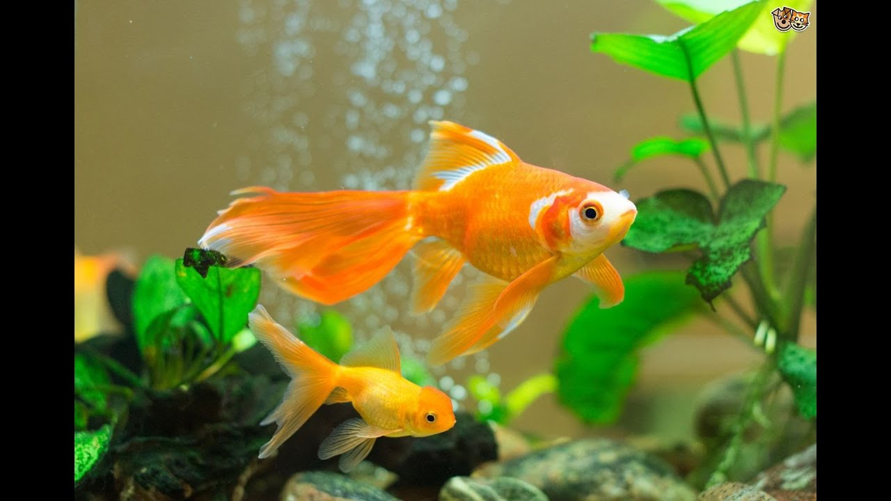 How to care for goldfish instructional videos youtube for How to take care of fish tank