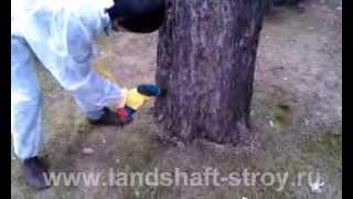 видео Борьба с короедом в саду