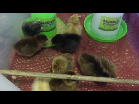 Baby chicks live stream [LIVE]