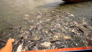 Syntheticsax & Andrew S.mile кормят голодных но жирных рыб Пираньи 5
