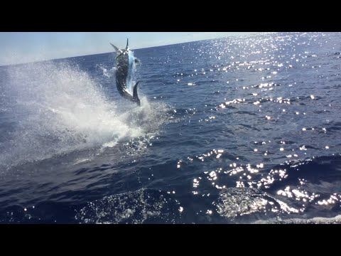 1100lb Blue Marlin Fishing GOLD COAST