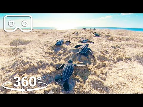 Baby Turtles Hatch And Face A Perilous Race To The Ocean    VR 360   Sev...