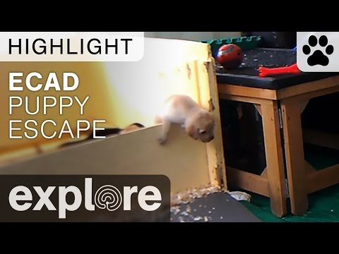 The Great Puppy Escape - Live Camera Highlight