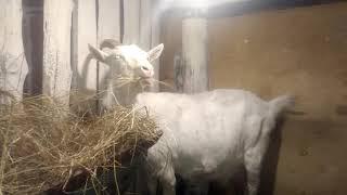 коза за 10 дней до окота,для чайников