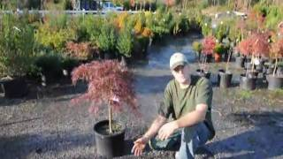 Tending your Crimson Queen Maples in Chester County