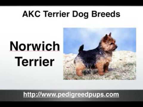 Terriers - AKC Terriers - AKC Terrier Dog Breeds