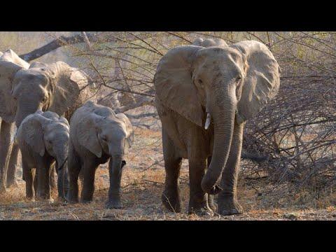 How Adult Elephants