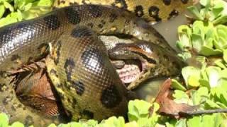 wild anaconda swallowing iguana