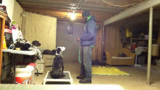 Severe Dog Aggression Intro To Dogs Step 1 | Majors Academy Dog Training And Rehabilitation