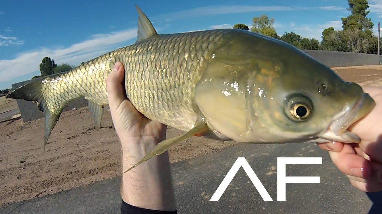 Arizona canal fishing youtube for Fishing in az