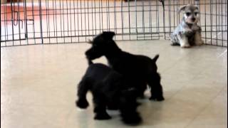 Mini Schnauzer Puppies For Sale