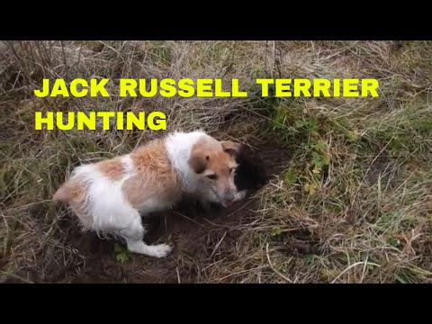 JACK RUSSELL TERRIER DOGS HUNTING