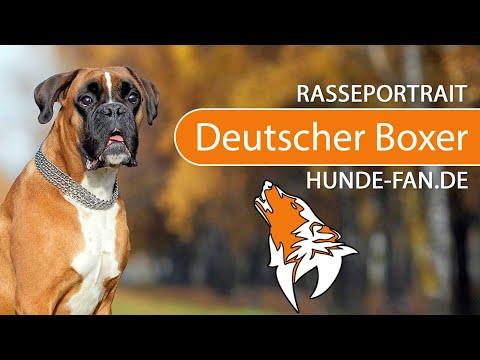 Deutscher Boxer  [2018] Rasse, Aussehen & Charakter