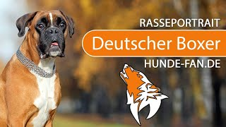 German Boxer [2018] Breed, Appearance & Character