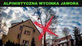 ALPINISTYCZNA WYCINKA DRZEWA - Jawor zrobiony NA LINACH - 3 godziny pracy streszczone w 10 minut! :)