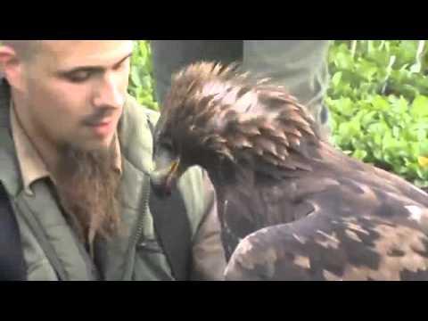 Yes, Eagles do Hunt Deer in Hungary
