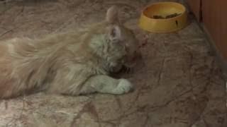 Рыжий кот и мясо. От счастья ноги отказали )