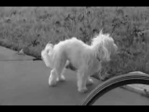 SHAKER DOG SYNDROME