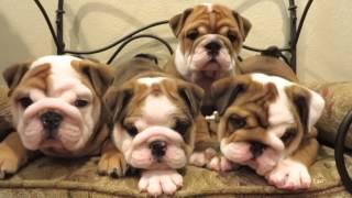 Cutest English Bulldog Puppies Ever!