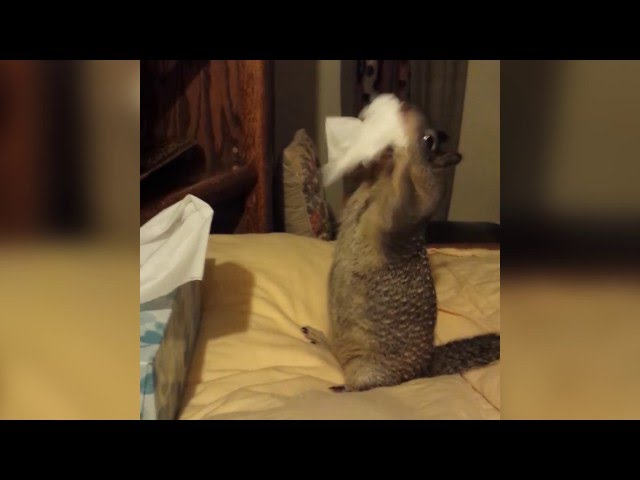 Squirrel Stuffs Tissues into Cheeks