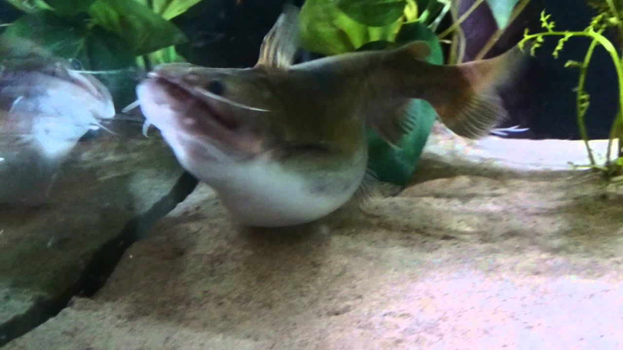 My gulper catfish eating doovi for Can cats eat raw fish