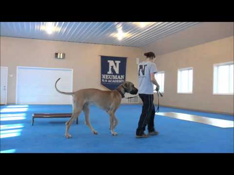 Miles (Great Dane) Boot Camp Dog Training