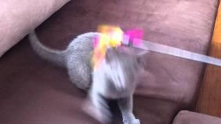 Kot rosyjski niebieski Alma Carski Błękit*PL pierwszy dzień / Russian Blue Cat
