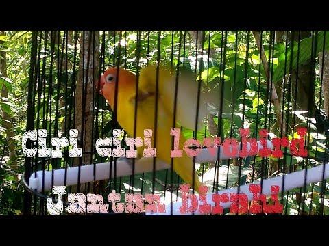 CIRI CIRI LOVEBIRD JANTAN BIRAHI
