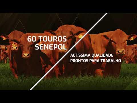 Chamada Leilão Touros Genetica Paranoa 2020