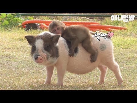 A baby monkey riding on a mini pig's back?
