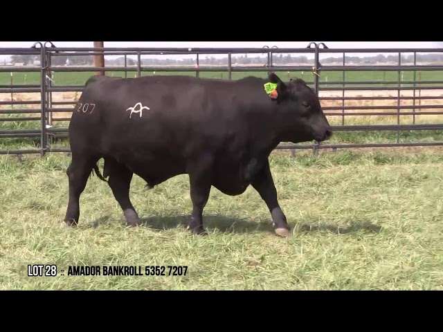 Mid Valley Bull Sale Lot 28