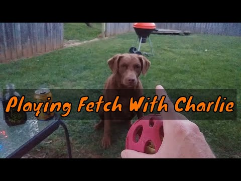 Playing Fetch With Charlie The Chesapeake Bay Retriever