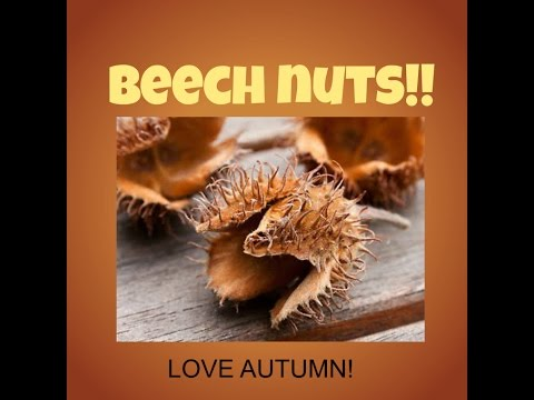 Foraging The Delicious BEECH NUT