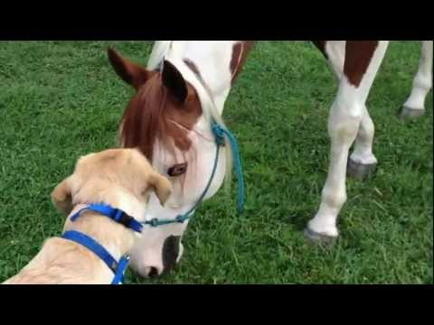 Service Dog Meets Her First Horse from YouTube · Duration:  2 minutes 11 seconds